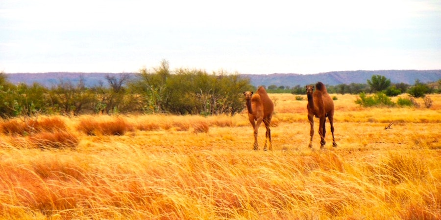 australien-kamele