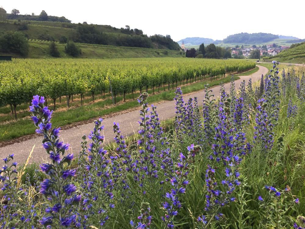 badischer weinradweg 28 - Badischer Weinradweg: Hügel, Reben & Genuss