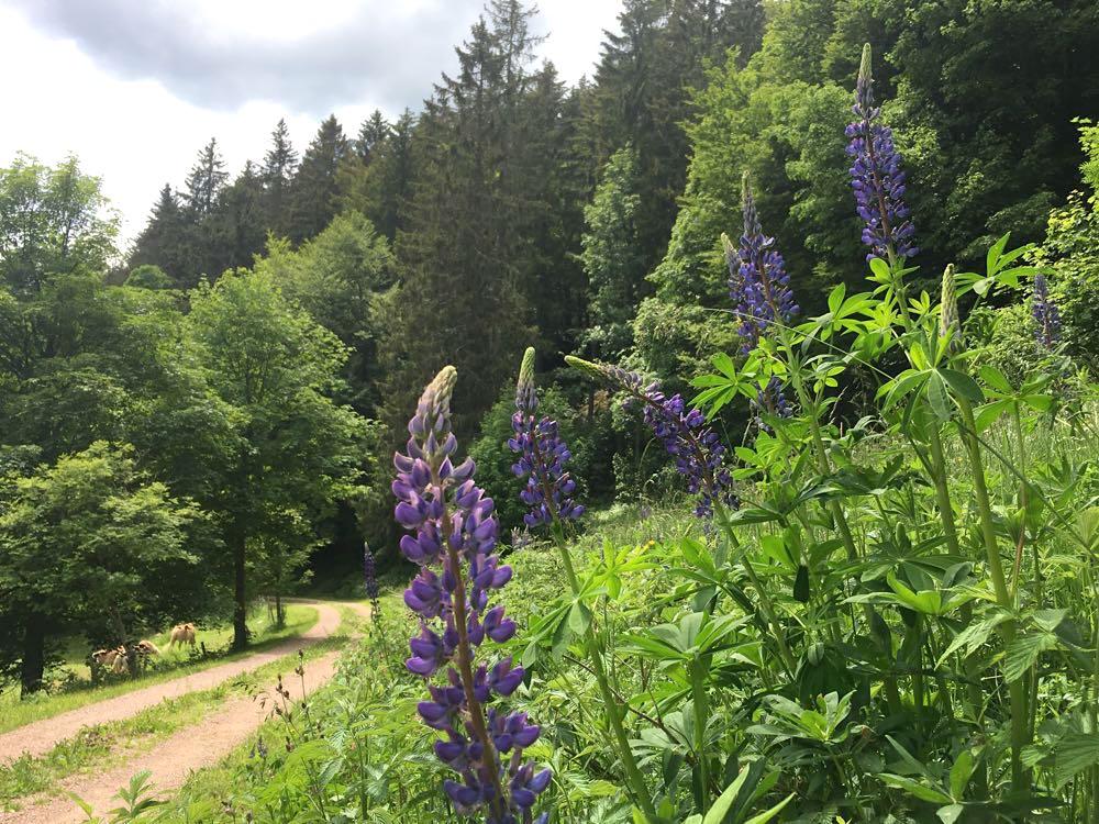belchensteig geniesserpfad schwarzwald 10 - Genießerpfad Belchensteig im Schwarzwald